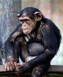 Chimpanzee sitting on the metal bench at zoo in Kuala Lumpur. December 25, 2017 stock images