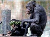 Chimpanzee sitting on the metal bench at zoo in Kuala Lumpur. December 25, 2017 stock photography