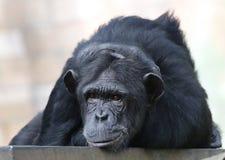 Chimpanzee sitting on the metal bench at zoo in Kuala Lumpur. December 25, 2017 stock image