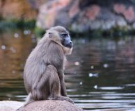 Chimpanzee sitting on rock Stock Images