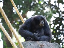 A chimpanzee sitting on a rock  with blur background stock images