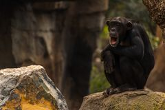 Chimpanzee sitting on a rock yawning. A Chimpanzee sitting on a rock yawning with it`s mouth wide open stock photos