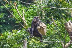 Chimpanzee on rope with bag in her hands. The chimpanzee sitting on a rope with a bag in her hand royalty free stock photography