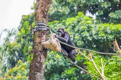 Chimpanzee on rope with bag in her hands. The chimpanzee sitting on a rope with a bag in her hand royalty free stock photo