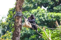 Chimpanzee on rope with bag in her hands. The chimpanzee sitting on a rope with a bag in her hand stock images