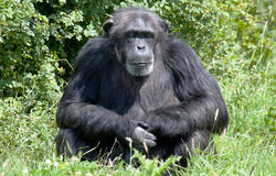 Chimpanzee sitting by some bushes Royalty Free Stock Image