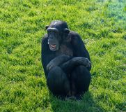 Chimpanzee sitting on some grass. In the sun royalty free stock photo