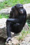 Chimpanzee sitting on the stone Stock Image