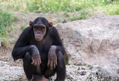 Chimpanzee sitting on stones Royalty Free Stock Photos