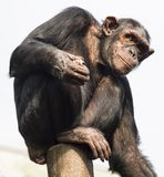 Chimpanzee sitting on a stump and looking into the distance. White background royalty free stock photos