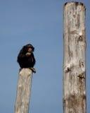 Chimpanzee. Sitting on a tree Royalty Free Stock Photography