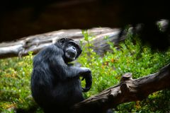 Chimpanzee sitting on a tree branch. Hominidae. Chimpanzee is also found further north in West Africa. Animals and nature royalty free stock photography