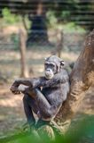 Chimpanzee sitting on tree looking calm and relaxed, Sierra Leone, Africa.  stock photos