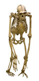 Chimpanzee skeleton isolated on white Stock Images