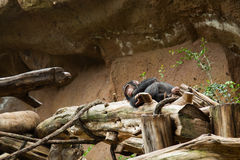 Chimpanzee sleep Stock Image