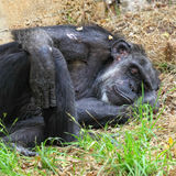 Chimpanzee sleeping Stock Photography