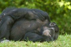 Free Chimpanzee Sleeping On Grass Royalty Free Stock Image - 4063726