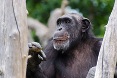 Chimpanzee smiling Royalty Free Stock Photos