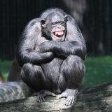 The Chimpanzee. Smiling happy Chimpanzee sitting on a tree Royalty Free Stock Image