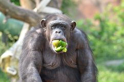 Chimpanzee snack Stock Photo