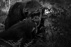 Chimpanzee son and dad. A chimpanzee father and his son Stock Photos