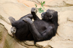 Chimpanzee. With sprig of leaves relaxing in a zoo royalty free stock images