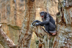 Chimpanzee. Standing in a tree Royalty Free Stock Photos