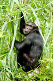 Chimpanzee stare. This Male Chimpanzee pauses for a break and a stare in the Mahale Mountains, Tanzania Stock Image