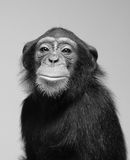Chimpanzee studio portrait. Black and white chimpanzee studio portrait (soft focus Stock Photos