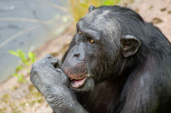 Chimpanzee sucking his thumb Stock Photo