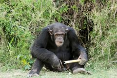 A Chimpanzee with sugarcane at Ol Pejeta Conservan. Chimpanzees are the closest living relatives to humans Stock Photo
