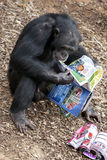 A chimpanzee takes interest in a magazine placed in its enclosure at Monarto Zoo in South Australia in Australia. Royalty Free Stock Photos