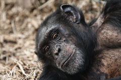 A Chimpanzee with a telling look. A Chimpanze with a telling look laying back relaxing Royalty Free Stock Images