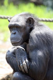 Chimpanzee thinking Royalty Free Stock Image