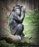 The Chimpanzee. The Chimpanzee thinking. Retro style filtered picture royalty free stock photography