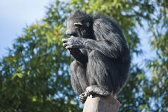Chimpanzee thoughtful. Pensive picture of a chimpanzee on a log Stock Images