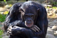 Chimpanzee in thoughtful pose royalty free stock image