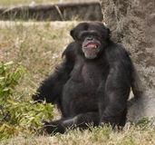 Chimpanzee with Toothy Grin Royalty Free Stock Photos