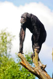 Chimpanzee on a tree. Chimpanzee standing on a tree royalty free stock images