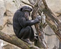 Chimpanzee in a tree. A chimpanzee sitting in a tree Stock Images