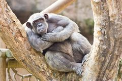 Chimpanzee In A Tree Stock Photos