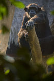 Chimpanzee on a tree Stock Photo