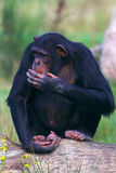 Chimpanzee on a tree. Chimpanzee sitting on a tree with his hand in front of his mouth royalty free stock image