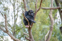Chimpanzee in a tree Stock Image