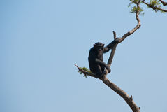 Chimpanzee. On a tree branch in Africa royalty free stock images