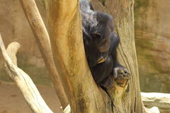 Chimpanzee on the tree Royalty Free Stock Images