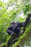 Chimpanzee on a tree in Uganda royalty free stock image