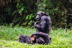 Chimpanzee with two babes. Sitting In singapore Zoo stock images