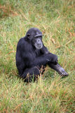 Chimpanzee - Uganda Stock Photography