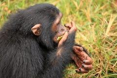 Chimpanzee - Uganda Stock Image